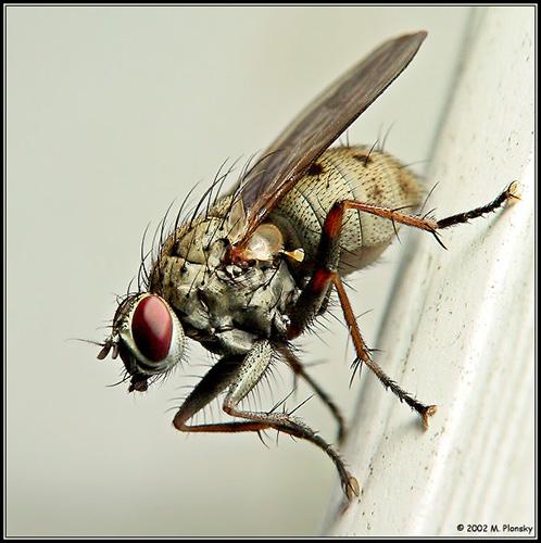 M. Plonsky - Flies