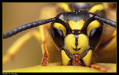 M. Plonsky - Bees _Wasps_Hornets