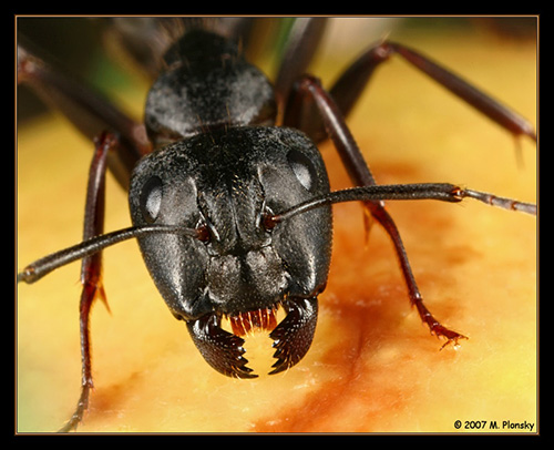 M. Plonsky - Ants
