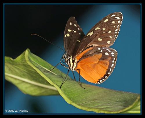 M. Plonsky - Butterflies